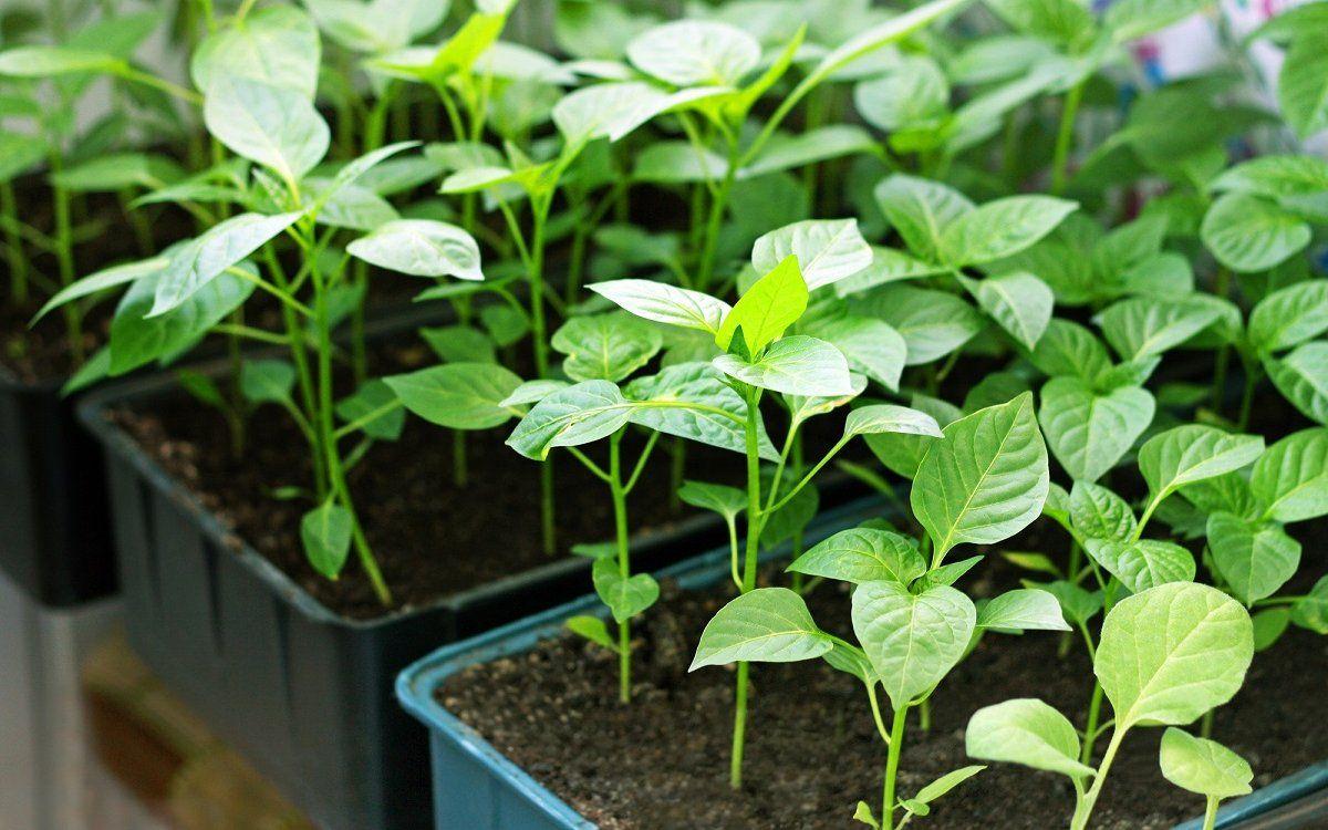 Выращиваем элитную рассаду перцев. Закаливание и пикирование рассады сладкого перца. Часть 2.