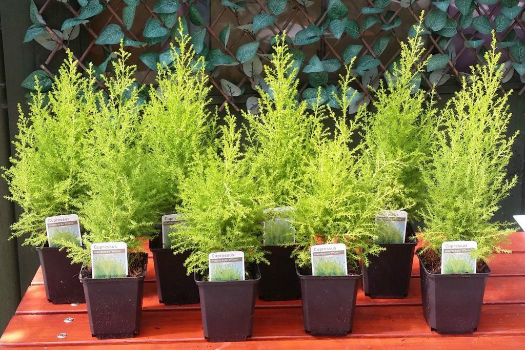 Выращивание кипариса в домашних условиях