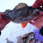 ПОЛОСАТЫЕ БЫКИ ВЫШИБАЮТ УДОЧКУ ИЗ РУК! Зимняя рыбалка 2019-2020. Ловля Окуня на балансир