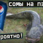 Фантастическая #рыбалка / сомы лезут на пепси